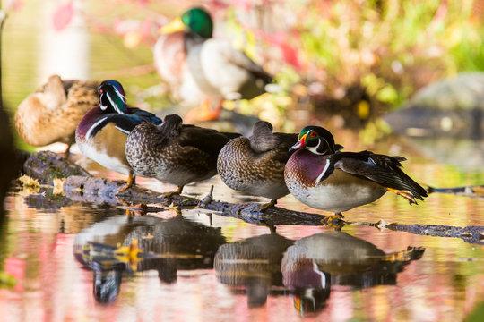 Beautiful wood duck in autumn