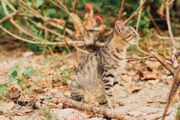 tabby cat outdoors in the wild, a predator cat in the summer resting in nature