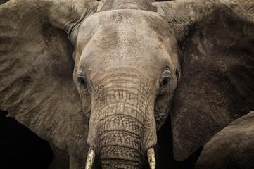 Wild elephant family with baby in Uganda Africa