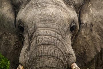 Wild elephant in Uganda Africa