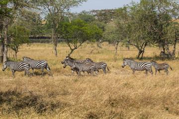 Printed roller blinds Zebra Zebras in Uganda Africa
