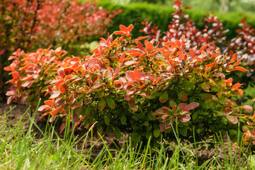 decorative barberry bushes,