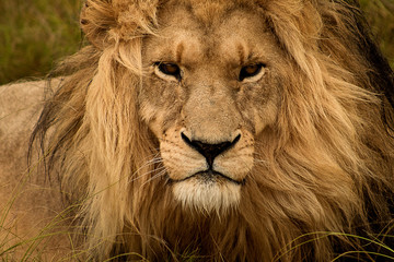 Poster Leeuw The lion king: beautiful male lion, close up of head and mane