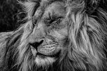 The lion king: profile portrait of head and flowing mane