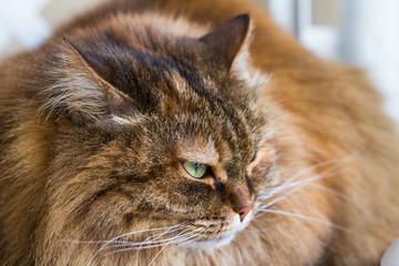 Brown mackerel cat with long hair. Siberian pet of livestock, hypoallergenic animal