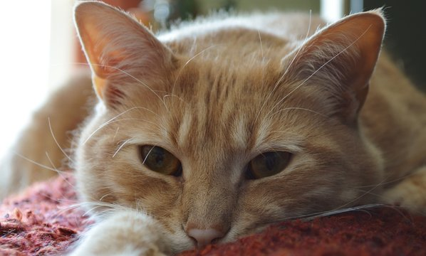 Large Tabby Cat, Close Up Face, Cat Staring Straight Ahead; Adoption Ideas, Take Care of Your Pets, Cute Animals