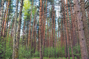 green pine forest with low understory nature eco background