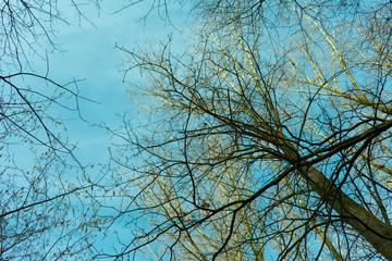 Baumkrone von unten bei blauem Himmel im Winter. Standort: Deutschland, Nordrhein-Westfalen, Borken