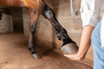 Veterinarian examining horse leg tendons. Selective focus on hoof.