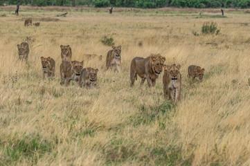 The Savuti Marsh Pride lions roam in the Chobe National Park Botswana.