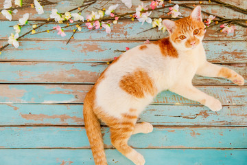 Wall Mural - Cat with cherry blossom flowers on vintage wooden background. vintage color tone - concept flower of spring or summer background
