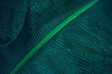 Close-up foliage of tropical leaf in dark green with rain water drop texture,  abstract nature background. Wall mural