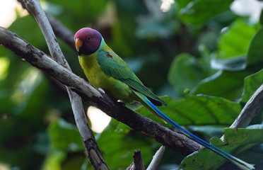 Deep Green, Yellow, and Red Plumage on a Plum Crested Parrot on a Branch