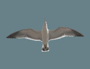Bird seagull in flight