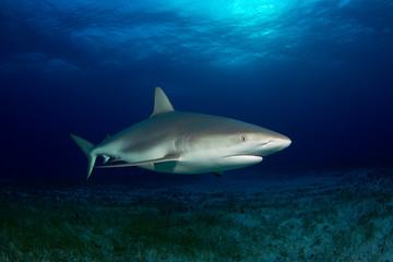 Caribbean Reef Shark (Carcharhinus perezi) over Sandy Sea Grass Bottom. Tiger Beach, Bahamas