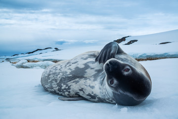 Weddell seal on the snow