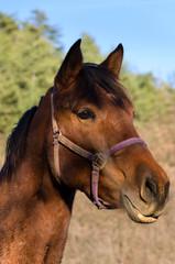 horse on a meadow in Praglia plateau in Liguria in Italy