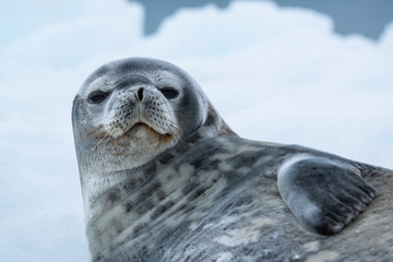 Weddell seal in Antarctica
