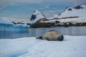 Sea leopard in Antarctica
