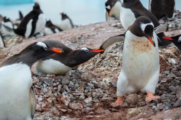 gentoo penguins on the rock