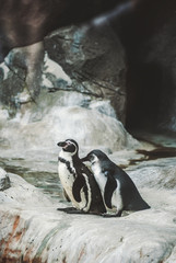 Two penguins staying on the stone cliff and hug each other. In Oceanarium in Moscow, Russia