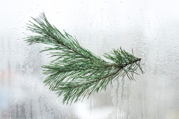A branch of green pine on the background of window glass in water droplets