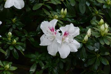 nice fresh azalea live floret
