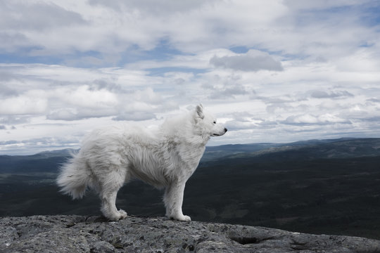White dog's fur is blowing in the wind