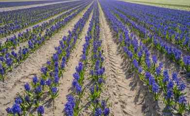 Landwirtschaft Feld mit blühenden blauen Hyazinthen - Agriculture field with flowering blue hyacinths