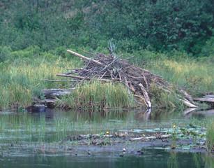 North American Beaver lodge (Castor Canadensis)