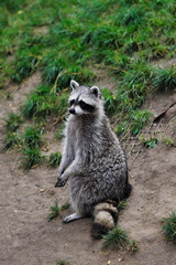 Full Body of adult common raccoon, standing and looking