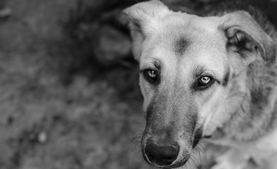 Stray dog looks into the frame. Black and white portrait of a dog. There was a request for help in looking. Place for text