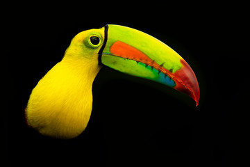 Poster Toekan Keel-billed Toucan - Ramphastos sulfuratus also known as sulfur-breasted toucan or rainbow-billed toucan on the black background
