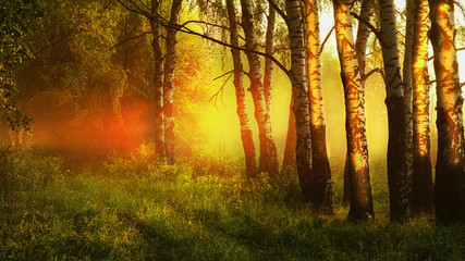 sunny  forest  in  morning mist