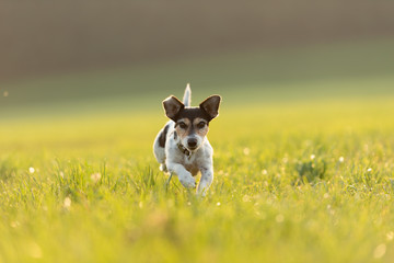 Jack Russell is running over a meadow in summer an back light
