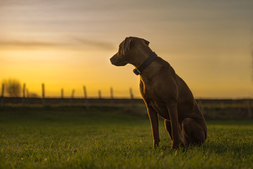 Beautiful Rhodesian Ridheback dog is sitting in sunset and is looking back direction sun