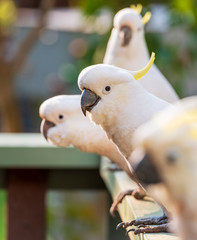 Flock Of Cockatoos