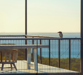 Kookaburra On Balcony