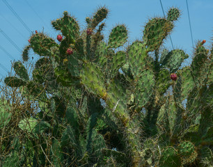 Wild cactus plant in summer day