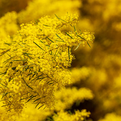 Wattle Flowers Shallow Focus