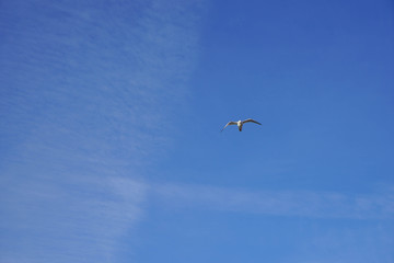 Beautifull seagull is flying, blue sky with white clouds in the background