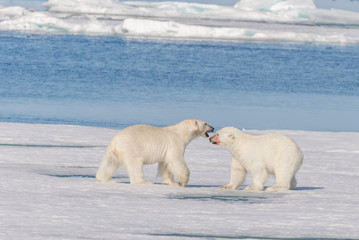 Two wild polar bears going on the pack ice north of Spitsbergen Island, Svalbard
