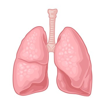 Human anatomy lungs. Vector black vintage engraving illustration