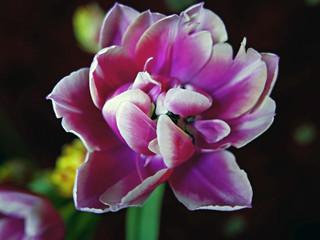 bel tulipano fiorito fotografato in interno