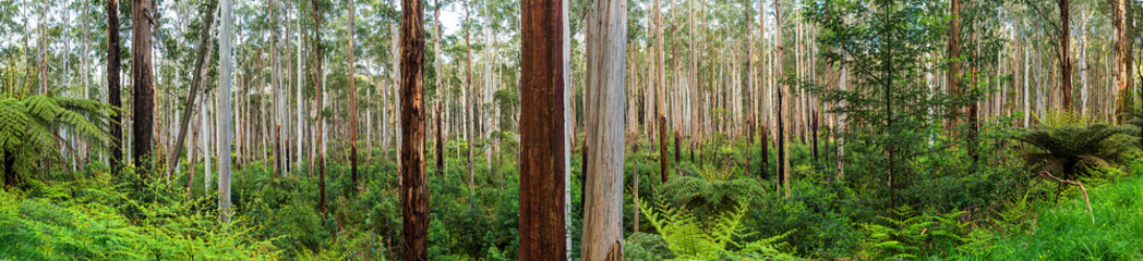 View of a beautiful temperate rainforest near Melbourne in Victoria, Australia