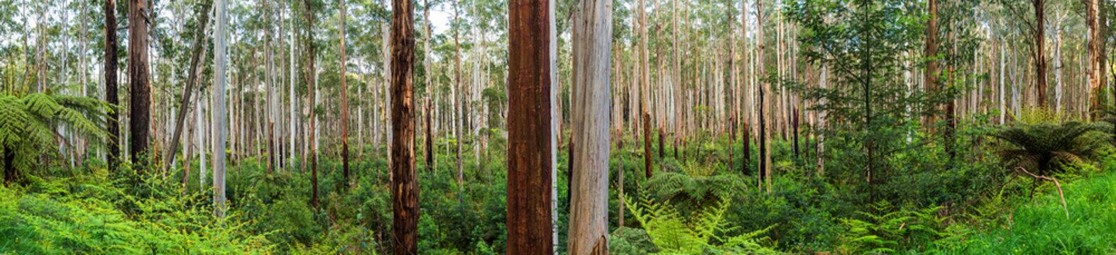 View of a beautiful temperate rainforest near Melbourne in Victoria, Australia