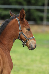Head of young foal of sport horse