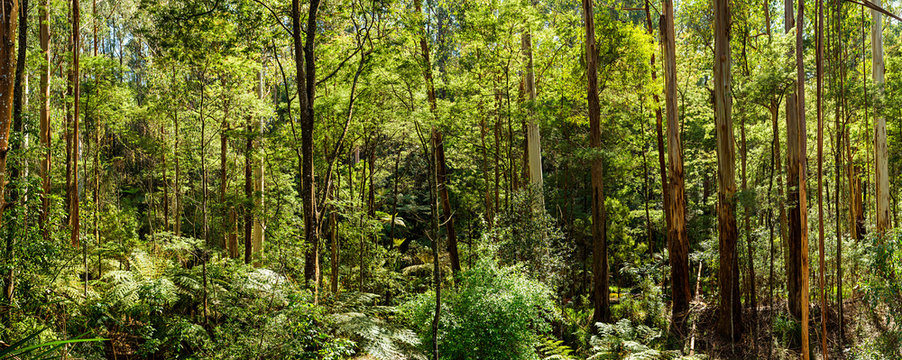 Panoramic view of a beautiful temperate rainforest near Melbourne in Victoria, Australia