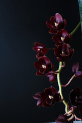 burgundy red orchid on dark black background Fredklarkeara After Dark