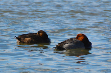 Male Redhead duck and female Greater Scaup duck